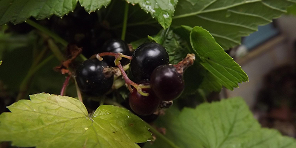 Blackcurrants Su B