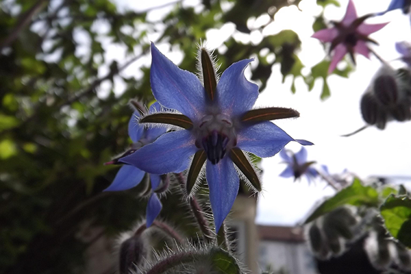 Borage Su B blog