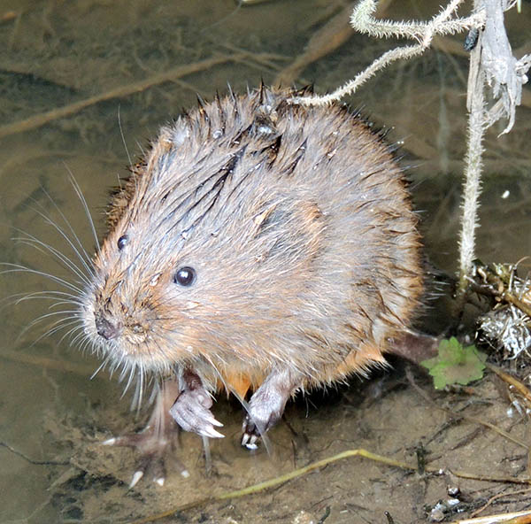kate-long-vole