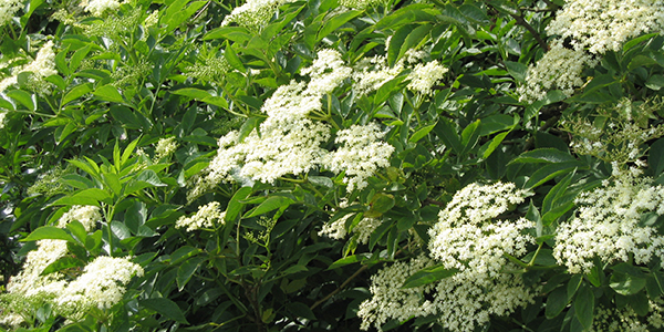 Su B Elderflower