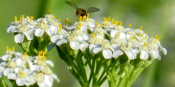 Yarrow Su B Blog How to meet a herb
