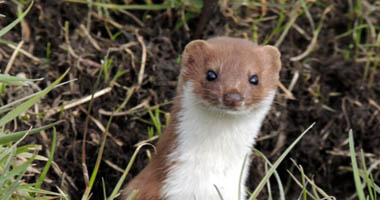 weasel in the wild